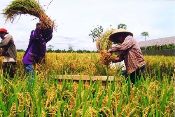 panen pertama padi banten 2005